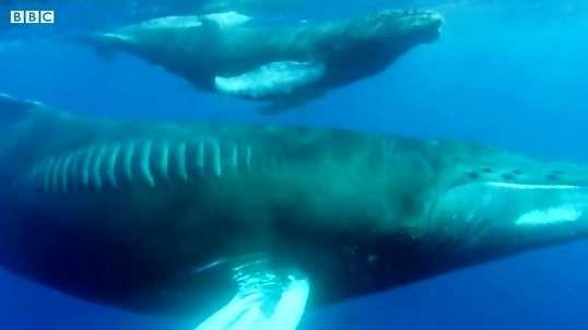 مبارزه نهنگ کوهان دار مادر با نهنگ نر