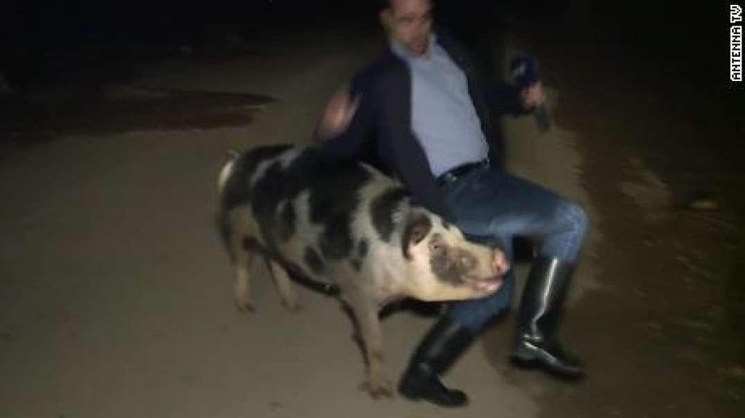 دنبال کردن گزارشگر در برنامه زنده توسط یک خوک چاق